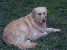 تعبیر خواب سگ , تعبیر خواب سگ سفید , تعبیر خواب سگ زرد , تعبیر خواب سگ سیاه