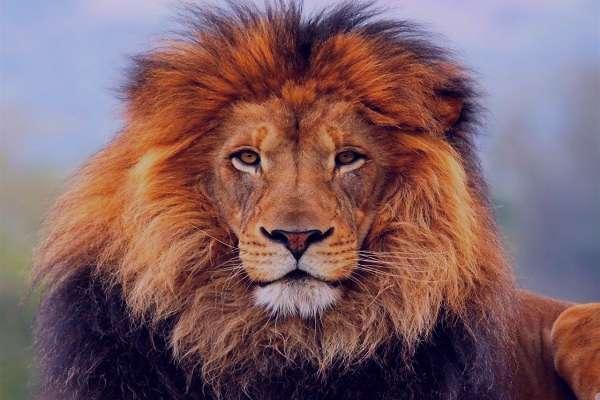 تعبیر خواب شیر جنگل , تعبیر خواب شیر جنگل در خانه , تعبیر خواب شیر جنگل دیدن , تعبیر خواب شیر جنگل سفید