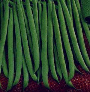 مضرات لوبیا سبز , لوبیا سبز , خواص لوبیا سبز , لوبیا سبز به انگلیسی