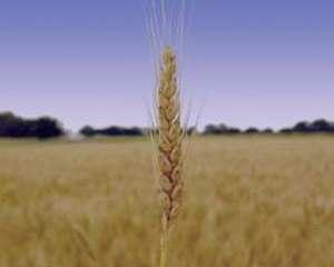 گندم , خواص گندم , انواع گندم , کاشت گندم