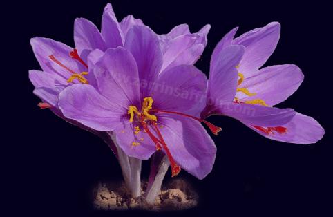 زعفران , خواص زعفران , مضرات زعفران , زغفران ایرانی