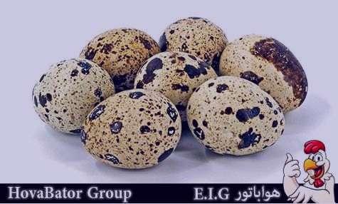تخم بلدرچین , خواص تخم بلدرچین , مضرات تخم بلدرچین , فواید تخم بلدرچین