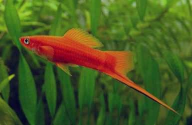 تعبیر خواب ماهی پخته , تعبیر خواب ماهی سرخ شده , تعبیر خواب ماهی قرمز بزرگ , تعبیر خواب ماهی قرمز کوچک