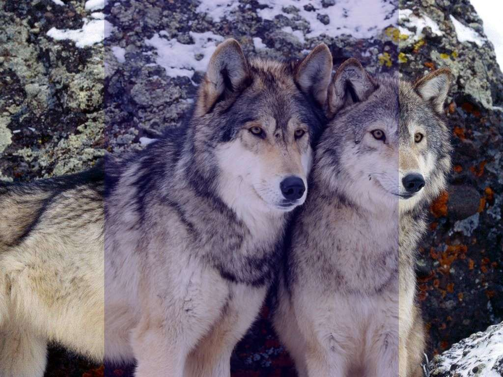 تعبیر خواب گرگ , تعبیر خواب گرگ دیدن , تعبیر خواب گرگ سیاه , تعبیر خواب گرگ خاکستری