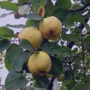 خواص برگ به , خواص برگ به لیمو , خواص برگ به چیست , خواص برگ به برای قلب