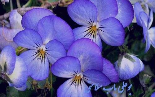 گل بنفشه , گل بنفشه آفریقایی , گل بنفشه به انگلیسی , گل بنفشه دارویی