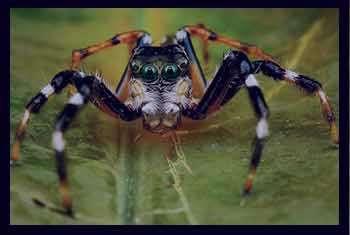 تعبیر خواب عنکبوت , تعبیر خواب عنکبوت بزرگ سیاه زرد قرمز سفید طلایی