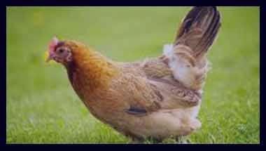 تعبیر خواب مرغ , تعبیر خواب مرغ مرده , تعبیر خواب مرغ و جوجه ,تعبیر خواب مرغ خانگی