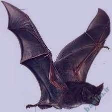 تعبیر خواب خفاش در خانه , تعبیر خواب خفاش , تعبیر خواب خفاش سیاه , خفاش در خواب دیدن