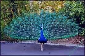تعبیر خواب طاووس سفید , تعبیر خواب طاووس , تعبیر خواب طاووس نر , طاووس در خواب دیدن