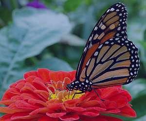 تعبیر خواب پروانه , تعبیر خواب پروانه آبی , تعبیر خواب پروانه سیاه , تعبیر خواب پروانه سفید