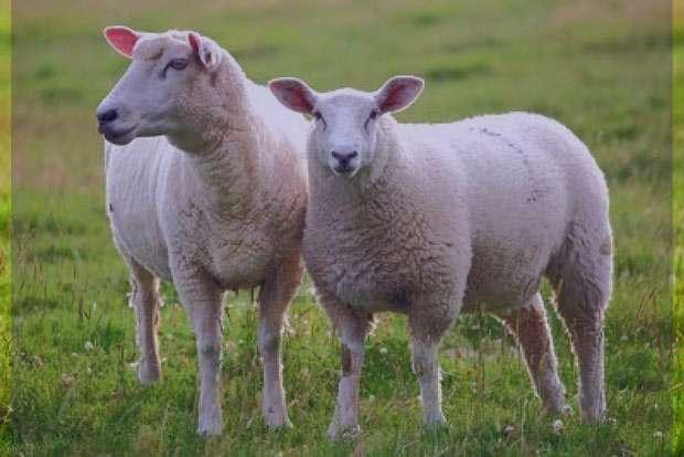 تعبیر خواب ذبح , تعبیر خواب ذبح انسان , تعبیر خواب ذبح گوسفندان , تعبیر خواب ذبح مرغ