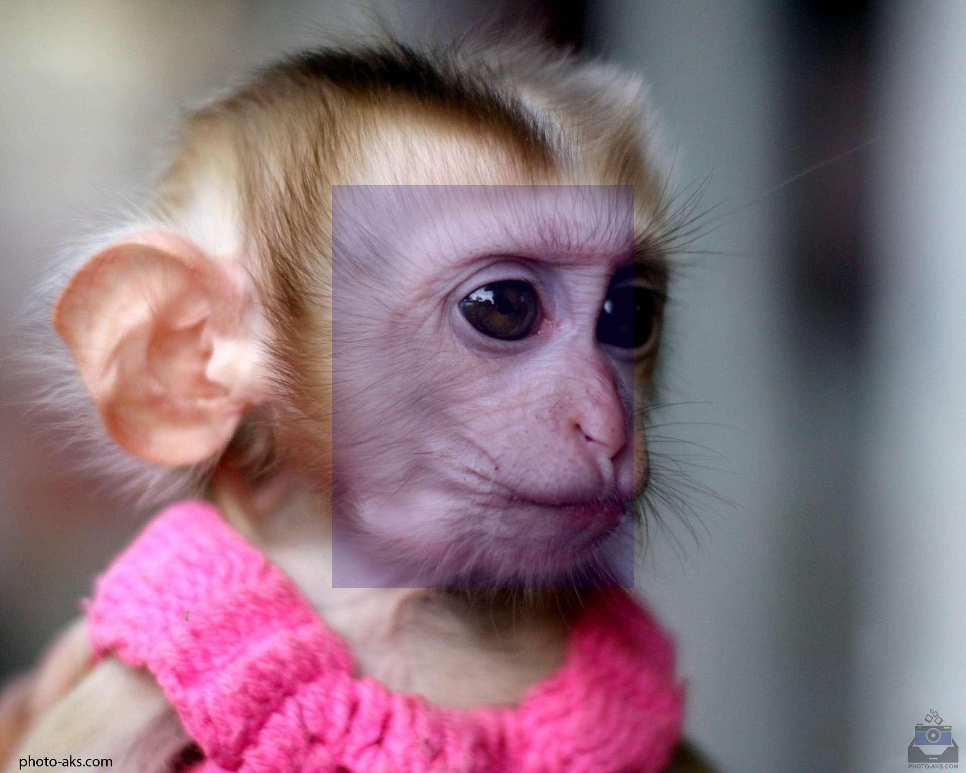 تعبیر خواب میمون , تعبیر خواب میمون سیاه رنگ , تعبیر خواب میمون سیاه , تعبیر خواب میمون قهوه ای