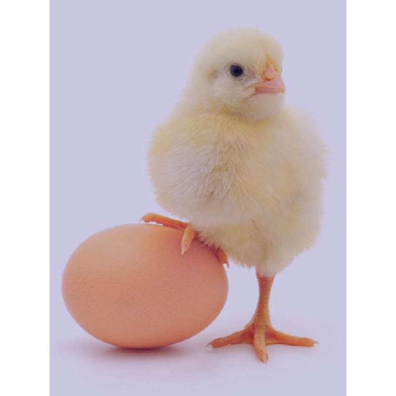 تعبیر خواب مرغ , تعبیر خواب مرغ و جوجه , تعبیر خواب مرغ عشق , تعبیر خواب مرغ خانگی