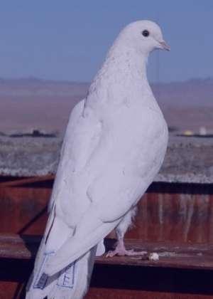 تعبیر خواب کبوتر , تعبیر خواب کبوتر سفید , تعبیر خواب کبوتر خاکستری , تعبیر خواب کبوتر چاهی