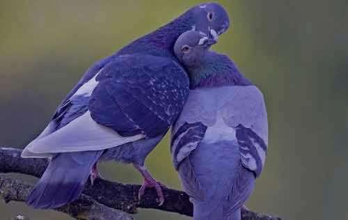 تعبیر خواب کبوتر ابن سیرین , تعبیر خواب کبوتر , تعبیر خواب کبوتر خاکستری , کبوتر در خواب دیدن