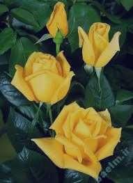 تعبیر خواب گل رز , تعبیر خواب گل , تعبیر خواب گل سفید , گل در خواب دیدن
