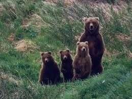 تعبیر خواب خرس سیاه , تعبیر خواب خرس , تعبیر خواب خرس دیدن , خرس در خواب دیدن