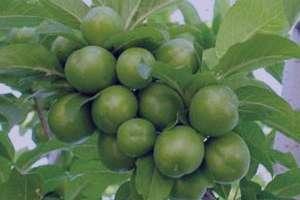 گوجه سبز , خواص گوجه سبز , فواید گوجه سبز , مضرات گوجه سبز