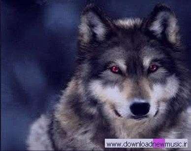 تعبیرخواب گرگ سیاه , تعبیرخواب گرگ , تعبیرخواب گرگ و دریدن , گرگ در خواب دیدن