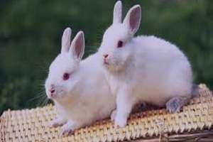 تعبیر خواب خرگوش سفید , تعبیر خواب خرگوش , تعبیر خواب خرگوش بزرگ , خرگوش در خواب دیدن