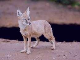 تعبیر خواب روباه , تعبیر خواب روباه قرمز , تعبیر خواب روباه سیاه , تعبیر خواب روباه سفید