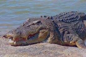 تعبیر خواب فرار از تمساح , تعبیر خواب تمساح , تعبیر خواب تمساح در آب , تمساح در خواب دیدن
