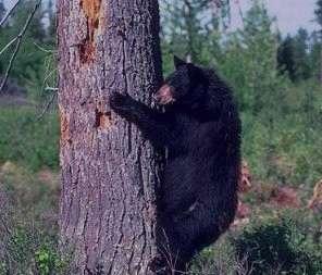 تعبیر خواب خرس امام صادق ,  تعبیر خواب خرس ,  تعبیر خواب خرس قهو ه ای , خرس در خواب دیدن