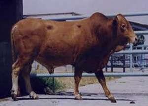 تعبیر خواب گاو , تعبیرخواب کشتن گاو , گاو در خواب دیدن , تعبیرخواب گاو قهو ه ای