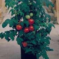 تعبیر خواب خریدن گوجه فرنگی , تعبیر خواب گوجه فرنگی , تعبیر خواب گوجه قرمز , گوجه در خواب دیدن