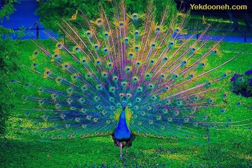 تعبیر خواب طاووس سفید , تعبیر خواب طاووس , تعبیر خواب طاووس رنگی , تعبیر خواب طاووس سیاه