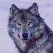 تعبیر خواب گرگ , تعبیرخواب گرگ سیاه , گرگ در خواب دیدن , تعبیرخواب گرگ خاکستری