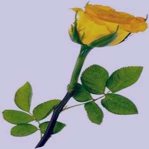 تعبیر خواب گل , تعبیرخواب گل رز , گل در خواب دیدن , تعبیر خواب گل محمدی
