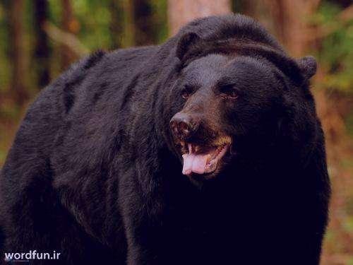 تعبیر خواب خرس , تعبیرخواب خرس قطبی , خرس در خواب دیدن , تعبیرخواب خرس سفید