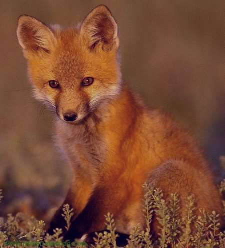 تعبیر خواب روباه , تعبیر خواب روباه قرمز , تعبیر خواب روباه سیاه , تعبیر خواب روباه مرده