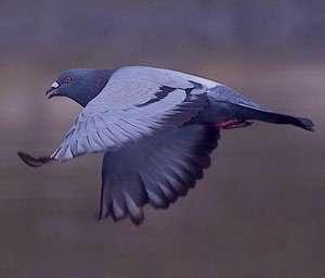 تعبیر خواب کبوتر , تعبیر خواب کبوتر سفید , تعبیر خواب کبوتر خاکستری , تعبیر خواب کبوتر سیاه