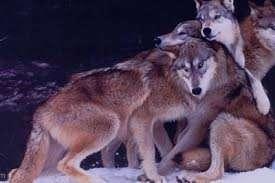 تعبیر خواب گرگ سفید , تعبیر خواب گرگ , تعبیر خواب گرگ خاکستری , گرگ در خواب دیدن