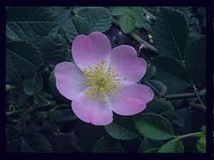 گل نسترن , خواص گل نسترن , انواع گل نسترن , عکس گل نسترن , نسترن