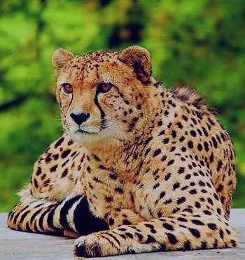 تعبیر خواب یوزپلنگ , تعبیر خواب یوزپلنگ سفید , تعبیر خواب دیدن یوزپلنگ , یوزپلنگ در خواب دیدن