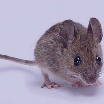 موش , عکس موش , زندگی موش , غذای موش , همه چیز در مورد موش