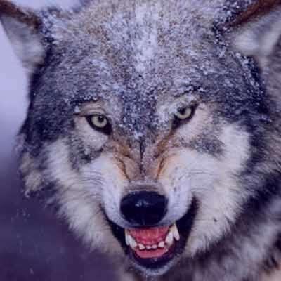 ع گرگ , ع گرگ با متن , ع گرگ وحشتناک زخمی , ع گرگ برای پروفایل