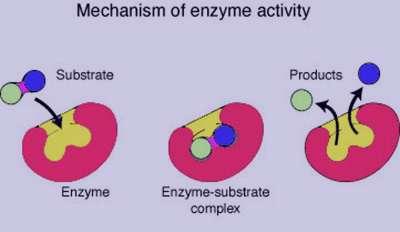 آنزیم , آنزیم چیست , انواع آنزیم