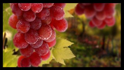 انگور قرمز , خواص انگور قرمز , فواید انگور قرمز , انگور قرمز و دیابت , انگور قرمز در بارداری