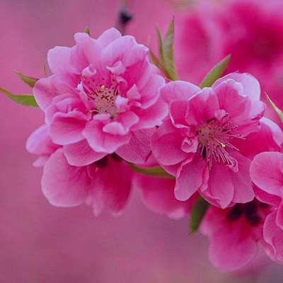 شعر در مورد شکوفه های بهاری