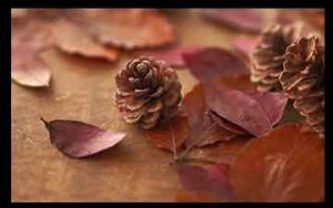 میوه درخت کاج , میوه درخت کاج به انگلیسی , میوه درخت کاج چیست , میوه درخت کاج چه نام دارد