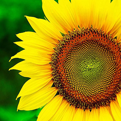 شعر در مورد گل آفتابگردان