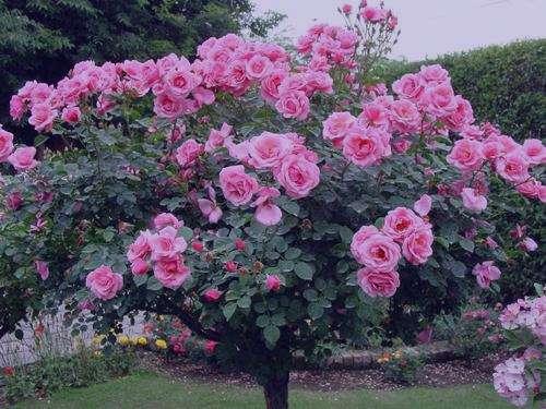 گل نسترن رونده , نگهداری گل نسترن رونده , عکس گل نسترن رونده , تکثیر گل نسترن رونده