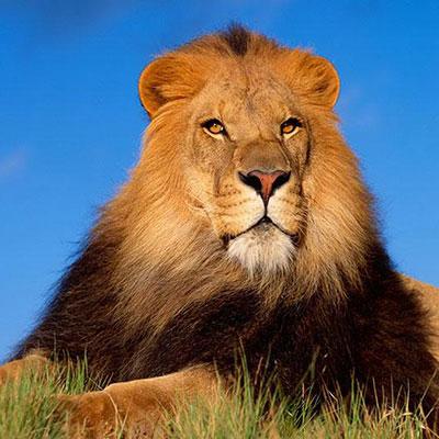 شعر در مورد شیر جنگل