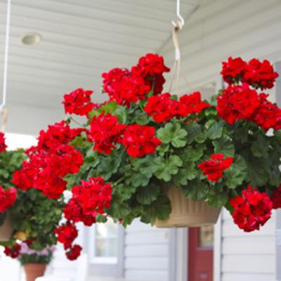 شعر در مورد گل شمعدانی