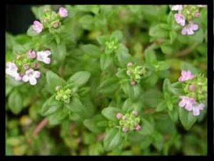 گیاه کاکوتی , گیاه کاکوتی چیست , گیاه کاکوتی کوهی , گیاه کاکوتی و خواص آن